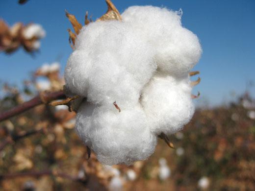 Cotton Natural Form